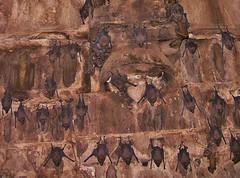 INDIEN, Fort Gwalior, Bats in the dark vaults, , 13610/6575 (roba66) Tags: travel wild india tourism nature animal animals fauna dark keller tiere reisen asia asien vampire urlaub visit dracula explore horror creature gwalior indien dunkel tier inde voyages fledermaus northernindia fledermuse roba66 indiennord indienfortgwalior