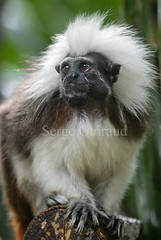 Tamarin (serge guiraud) Tags: monkey tamarin primates singes cottontoptamarin saguinusoedipus sergeguiraud jabiruprod pinchéàcrèteblanche