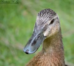 Anade azuln (Anas platyrhynchos) (buchimartinez93) Tags: ave pato anade