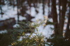 catching light (thisemily) Tags: morning winter nature forest outdoors morninglight woods bokeh hiking newengland newhampshire northeast hemlock naturephotography easternhemlock
