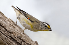 Striated Pardalote 2016-01-01 (_MG_7403) (ajhaysom) Tags: birds australia melbourne australianbirds greenvale striatedpardalote pardalotusstriatus canoneos60d sigma150600 woodlandshistoricpark