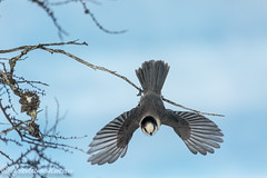 Grey Jay 10.2.15-2-Edit (big37dog) Tags: waterfowl 2015 greyjay variousbirds