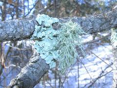 Flavopunctelia soredica and Usnea sp. on ponderosa pine (tigerbeatlefreak) Tags: pine nebraska lichen ponderosa usnea flavopunctelia soredica