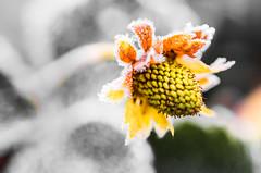 Strawberry in winter (Frank Lammel) Tags: 2016 blumen colorkey erdbeere flower macro natur strawberry winter