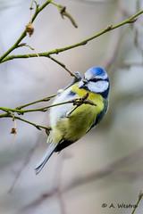 Blue tit (a3aanw) Tags: bird nikon pimpelmees vogel d800 cyanistescaeruleus amsterdamsewaterleidingduinen 200500mm