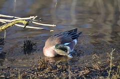 American Wigeon Foraging (Neal D) Tags: bird duck bc surrey crescentbeach americanwigeon anasamericana blackiespit