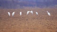 Velike bele aplje na polju (natalija2006) Tags: white bird heron nature alba great large ardea slovenia bela egret velika narava pti aplja