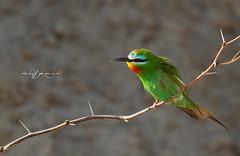 Blue Cheeked Bee Eater (Wasif Yaqeen) Tags: pakistan nature wildlife animalplanet nationalgeographic beeeater beeeaters wasif bluecheekedbeeeater birdsofpakistan bluecheekedbeeeaters wasifyaqeen