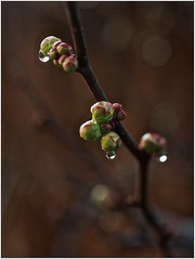 ce matin au jardin (JJ_REY) Tags: winter france fleurs nikon hiver colmar alsace buds bourgeons 2016 micronikkor 55mmf28 d700 borderfx finjanvier