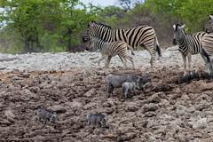 Steppenzebras (Equus quagga), Impalas, Warzenschweine und Perlhühner - Etosha-Nationalpark, Namibia (Nov. 2015) (anschieber | niadahoam.de) Tags: zebra namibia etosha zebras helmetedguineafowl 2015 plainszebra burchellszebra bontkwagga etoshanationalpark vlakvark gewonetarentaal vögelbirdsaves commonwarthog afrikaafrica hühnervögel steppenzebraequusquagga guineafowlbird 201511 helmperlhuhnnumidameleagris perlhühnernumididae warzenschweinphacochoerusafricanus namibia2015 20151112 etoshazebras