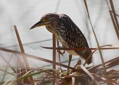 Black-crowned night heron juvenile. (Jill Bazeley) Tags: black dan heron night wetlands click ponds crowned blackcrownednightheron viera greatfloridabirdingtrail vierawetlands clickponds danclickponds