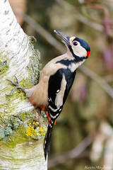 Great Spotted Woodpecker_82A1239 (kevinmayhew62) Tags: dendrocoposmajor greaterspottedwoodpecker sculthorpemoor