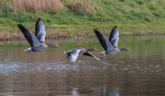 033a (95) (Baffledmostly) Tags: flying greylag greylaggoose brandonmarsh