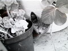 Peek a Boo Lucy (Bridgemarker Tim) Tags: cats kittens felines ruinsdartmoor