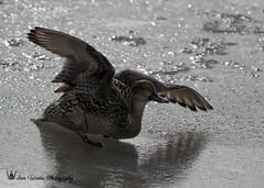 Duck Landing-1 (Ian L Winter) Tags: ca canada nature birds animals newfoundland stjohns countries newfoundlandandlabrador boweringpark