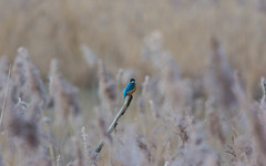 Sulking Kingfisher (abritinquint Natural Photography) Tags: winter wild brown tree bird nature nikon branch natural wildlife 300mm telephoto twig february nikkor luxembourg f4 vogel pf tc14eii 300mmf4 teleconvertor d7200 pfedvr