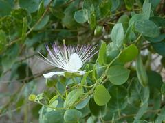 Capparis spinosa (Nelleke C) Tags: holiday vakantie flora rocks kreta greece crete caper nisi rots griekenland 2015 capparaceae capparisspinosa katoparos