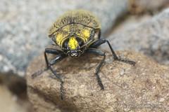 319A5982 Jewel Beetle, Steraspis speciosa, Ras al Khaimah (Priscilla van Andel (Uploading database)) Tags: rasalkhaimah jewelbeetle buprestidaefamily coleopteraoftheuae steraspisspeciosa