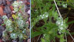 Bearded Cryptantha -  Cryptantha barbigera (beautyinature4me) Tags: winter arizona white spring fuzzy small may sedona wildflowers borage 2016 boraginaceae beardedcryptanthacryptanthabarbigera