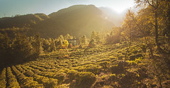 (maomao.sun) Tags: china winter sun mountain mountains fall leaves canon landscape warm quiet afternoon natural tea chinese dali backlighting