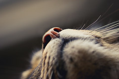Avoir du nez (N'Grid) Tags: macro cat nose chat 100mm 7d museau canon7d 7dmkii 7dmarkii 7dmk2 7dmark2