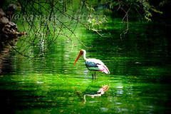 Painted storks (WandererSana) Tags: new travel india nature birds photography niceshot colours view delhi sony birding explore dslr photooftheday picoftheday bestshot naturelover travelphotography sonyalpha sonydslr randomclick lovetotakepictures