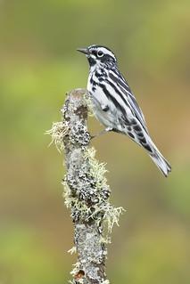 Black-and-white Warbler - Michigan