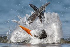 Bathing Time (bmse) Tags: california beach canon bath long royal shore l f56 tern salah 400mm wingsinmotion 7d2 bmse baazizi
