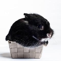 Cupcake Bunny (Jeric Santiago) Tags: pet rabbit bunny animal basket conejo lapin hase kaninchen   rabitbit