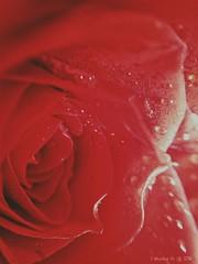 Rose. (*Valentina.) Tags: winter wild flower rose details rosa natura dettagli february fiore inverno febbraio sanvalentino goccie sanvalentineday