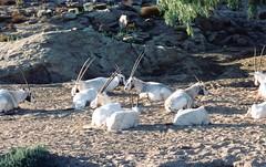 Oryx (Animal People Forum) Tags: wild animals outside outdoor antelope mammals oryx freeranging