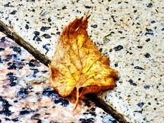 1 Ineffable Moment (Mertonian) Tags: art texture beauty stone canon 1 golden leaf powershot crisp simplicity veins curl moment ineffable mertonian canonpowershotsx60hs robertcowlishaw sx60hs 1ineffablemoment