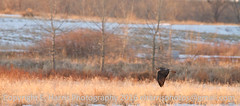 Hawk in Flight (eharrisphotos) Tags: fauna colorado hawk