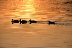 Quattro passi al tramonto (pentaxiano60) Tags: sunset lake bird birds lago duck tramonto ducks waterbird uccelli tramonti anatre d610 nikond610 sigma150600f563sport