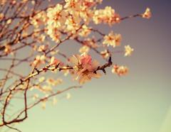 Almond tree flowers (malditacristina) Tags: pink flowers sky white flores tree blanco nature soft almond rosa cielo delicate almendro