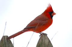 Cardinal (wvsawwhet) Tags: red bird birds cardinal birding wv westvirginia birdwatching fairmont redbird marioncounty northerncardinal westvirginiabirds birdsofwestvirginia