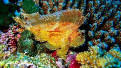 Der Schaukelfisch gehrt zu den Skorpionfischen (sylviafurrer) Tags: uw underwater unterwasser schaukelfisch leafscorpionfish