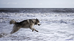 Water Boy (nmcdonald83) Tags: old uk sea dog beach water puppy fly flying jump nikon 10 malamute months pup leap seaham 105mm28 d810