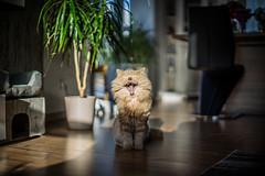 I'm a lion... rawr! (ChrisTalentfrei) Tags: field cat 50mm dof pentax bokeh sony tiger lion longhair kitty highlander rawr meow british katze alpha depth kater a7 tomcat lwe f12 schrfentiefe mieze tiefenschrfe stubentiger of bokehlicious fellnase langhaarkatze highlnderkatze stubenlwe
