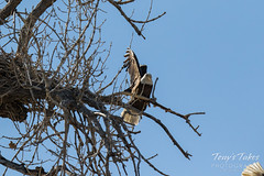 Bald Eagles copulating sequence - 25 of 28