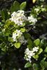 _ITA2535 (Edson Grandisoli. Natureza e mais...) Tags: planta interior flor campo urbana odor araçoiaba murraya murta fragrância arborização regiãosudeste arvoreta