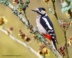 Great Spotted Woodpecker (ABPhotosUK (Thanks for 600 followers)) Tags: birds animals canon garden wildlife devon nocrop dartmoor greatspottedwoodpecker wrynecksandwoodpeckers eos7dmarkii