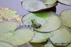FROG (Whitefox Chen) Tags: animal canon taiwan frog taipei    canon70300mm  greenpondfrog