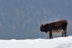 Heckrund - Bos domesticus (wimberlijn) Tags: nature animal wildlife natuur bayerischerwald bavarianforest heckrund beiersewoud 0utdoor bosdomesticus