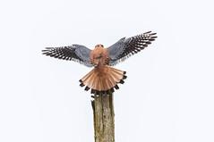 American Kestrel (Peter Bangayan) Tags: nature birds canon washington kent wildlife kestrel smallbirds americankrestel canon7d ef500mmf4lisusm