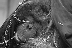 Lazy Town... (nyanc) Tags: park portrait blackandwhite bw nature netherlands monochrome animal prime zoo monkey blackwhite nikon zwartwit nederland natuur indoor orangutan portret animalia mammalia aap rhenen pongo primates ouwehands ouwehandsdierenpark chordata lazytown hominidae borneanorangutan ponginae