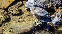 Puerto Baquerizo Moreno, San Cristbal, Galapagos (ser_is_snarkish) Tags: galapagos sancristbal puertobaquerizomoreno lavaheron