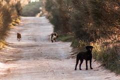 Manada en camino (Garimba Rekords) Tags: primavera la camino perros animales albacete castilla mancha