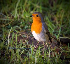 The gorgeous Robin. (Albatross Imagery) Tags: cute bird beautiful robin birds photography nikon flickr wildlife rspb gardenbirds wildbirds ukwildlife countryfile ukwildbirds