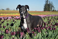 14.52.2016 Queen of the Night (kmmorgan1977) Tags: dogs sunshine oregon for spring tulips weeks woodenshoe 52 woodburn 2016 52wfd kkzsapachevegasrose